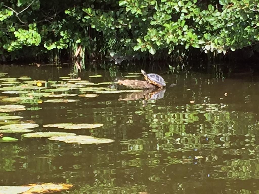 Skildpadde ved Bagsværd sø
